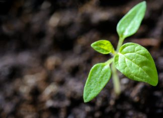 Plantenkiem komt op uit aarde