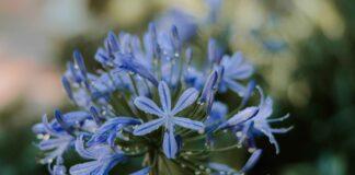 blauwe_bloem