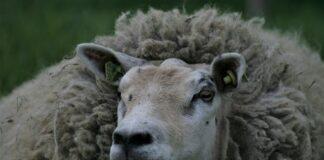 Lompo het schaap